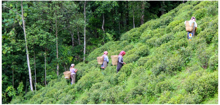 DARJEELING FIRST HARVESTS 2017