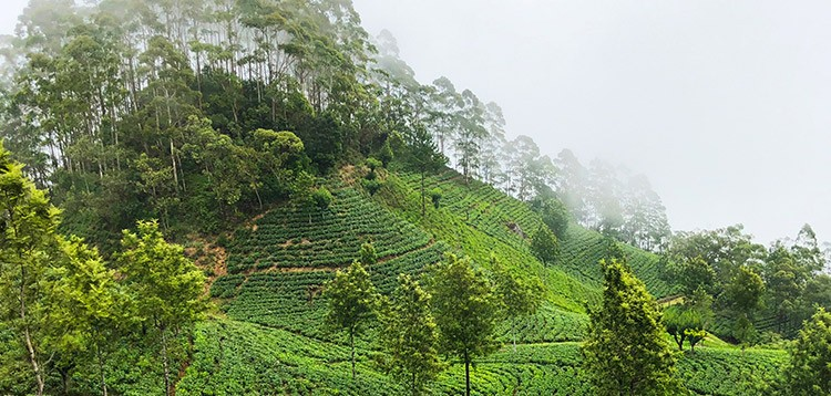 SRI LANKA, THE TEA ISLAND